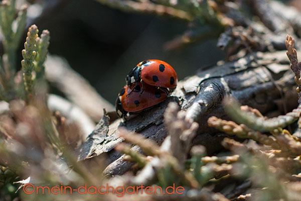 Marienkäfer Paarung
